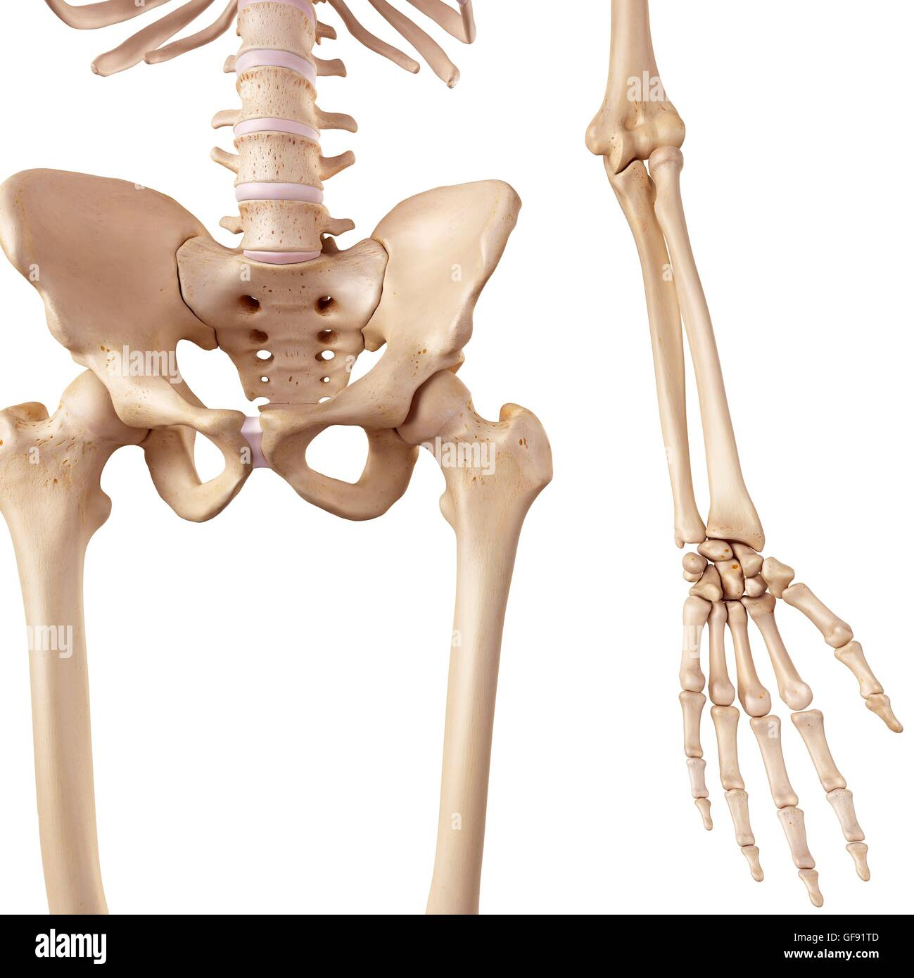 Human Hip Bones Illustration Stock Photo 112681085 Alamy