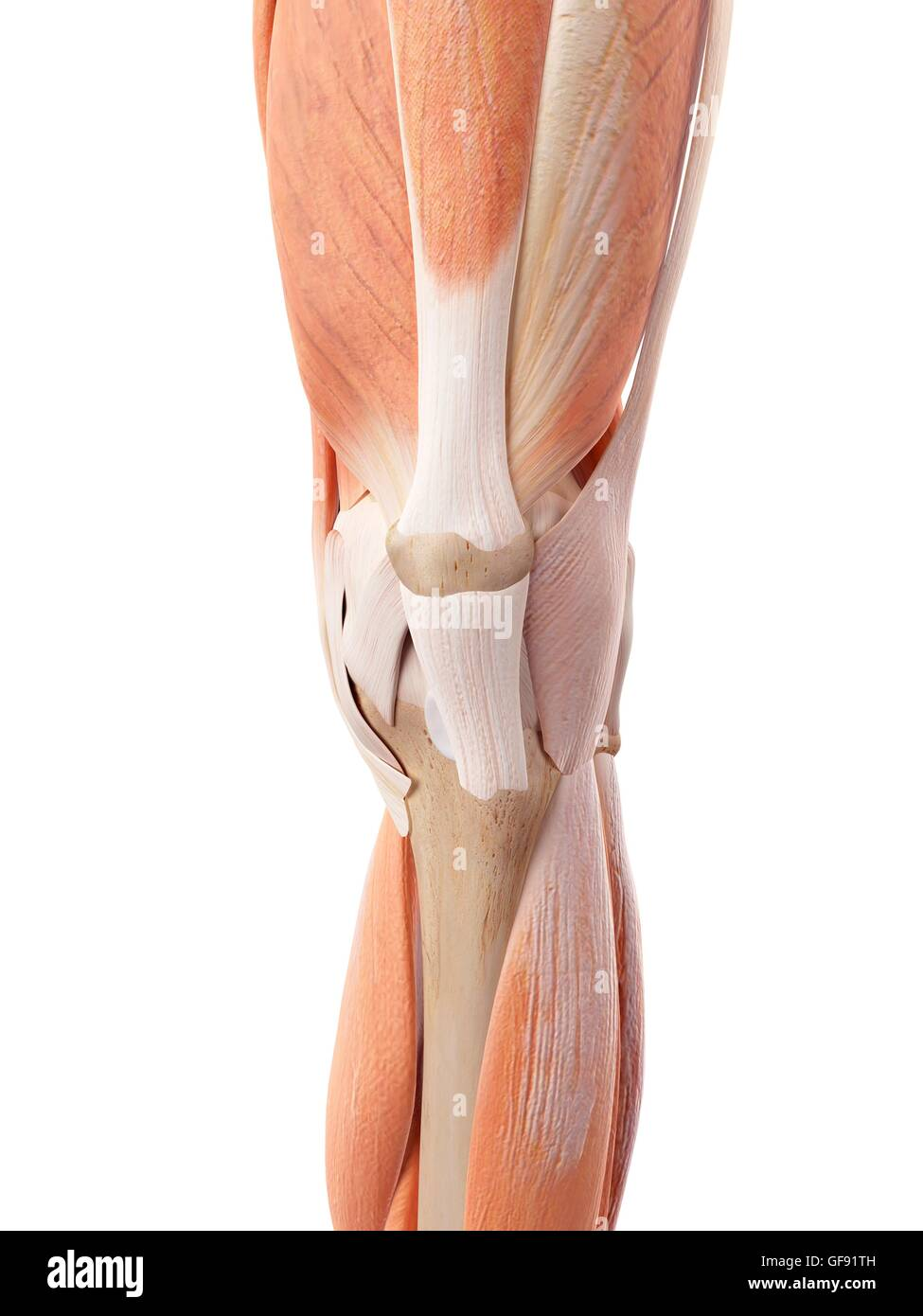 Human Knee Muscles Stock Photos Human Knee Muscles Stock Images