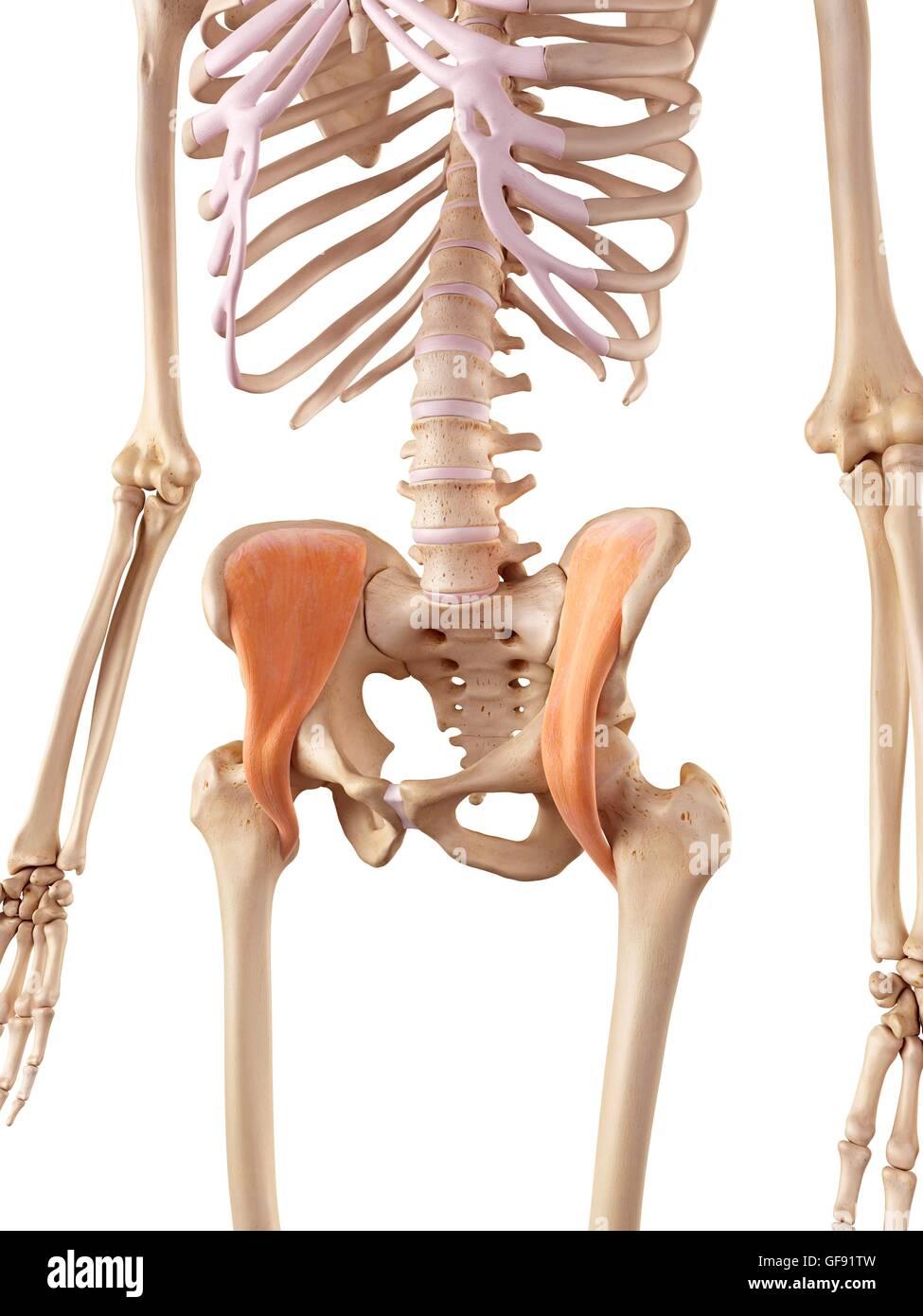 Human pelvic muscles, illustration. - Stock Image