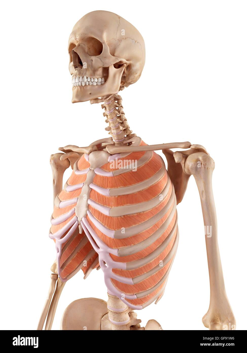 Human Thoracic Muscles Illustration Stock Photo 112681106 Alamy