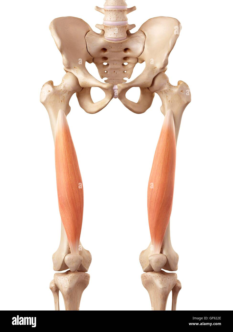 Human muscles of the upper leg, illustration Stock Photo: 112681254 ...
