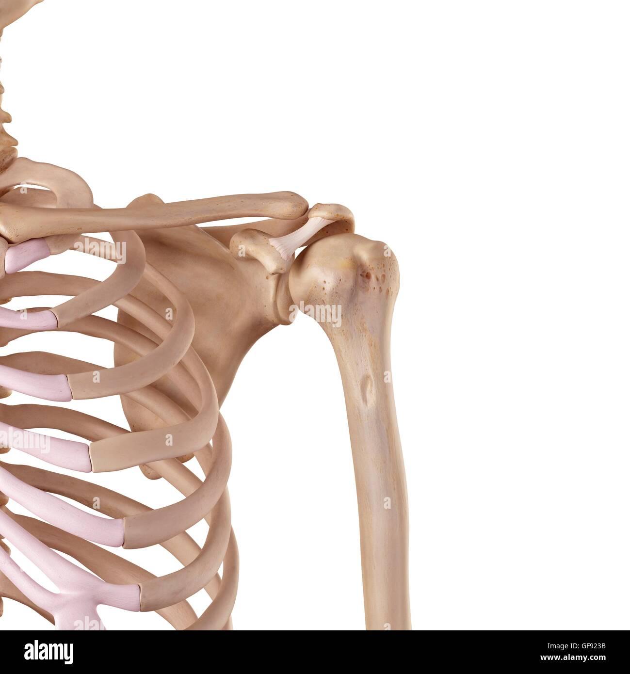 Human Shoulder Ligaments Illustration Stock Photo 112681279 Alamy