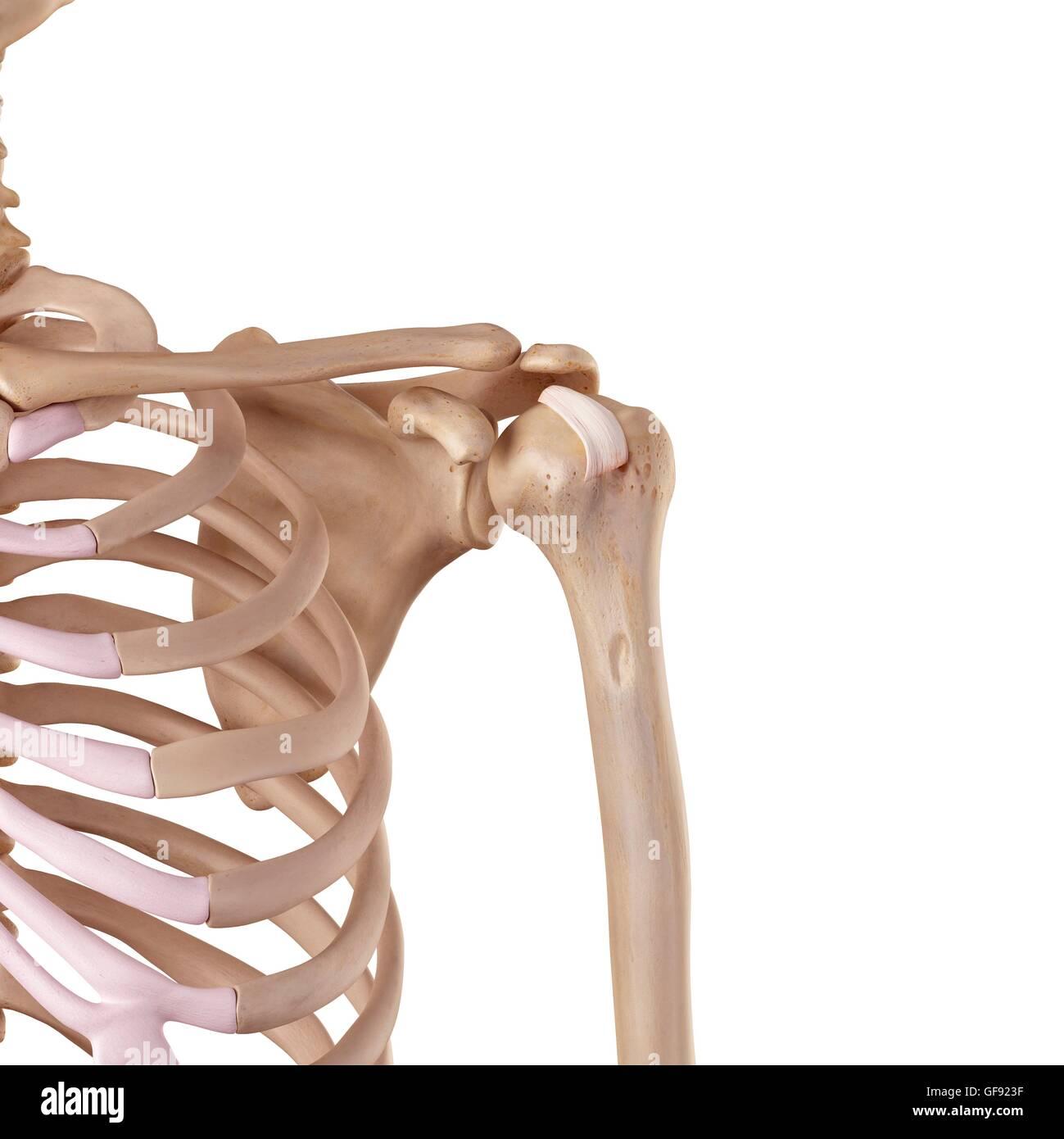 Shoulder Ligament Stock Photos & Shoulder Ligament Stock Images - Alamy