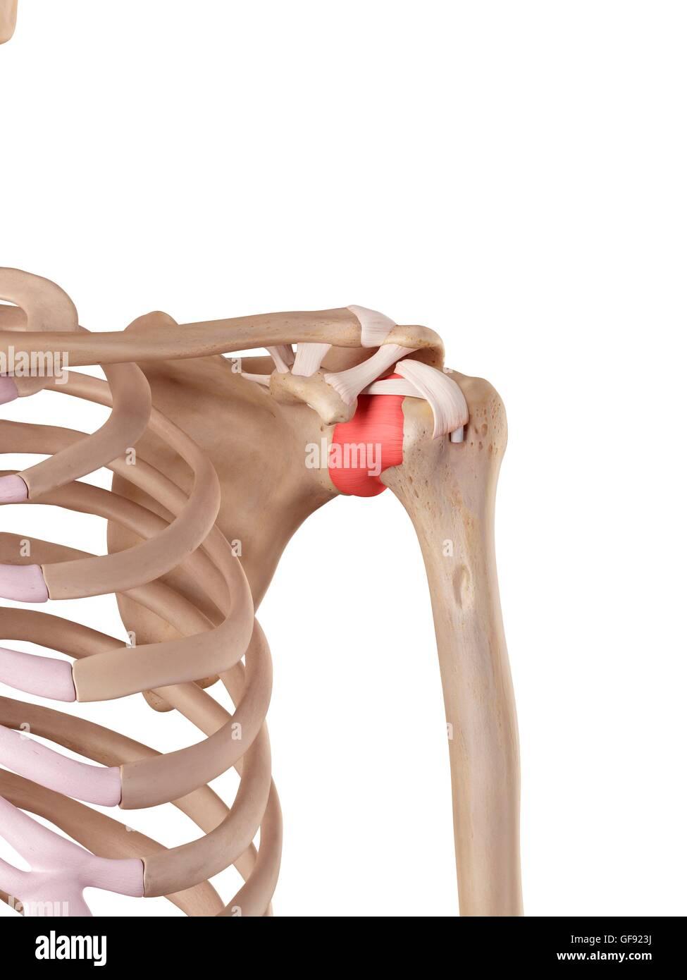 Human Shoulder Ligaments Illustration Stock Photo 112681286 Alamy