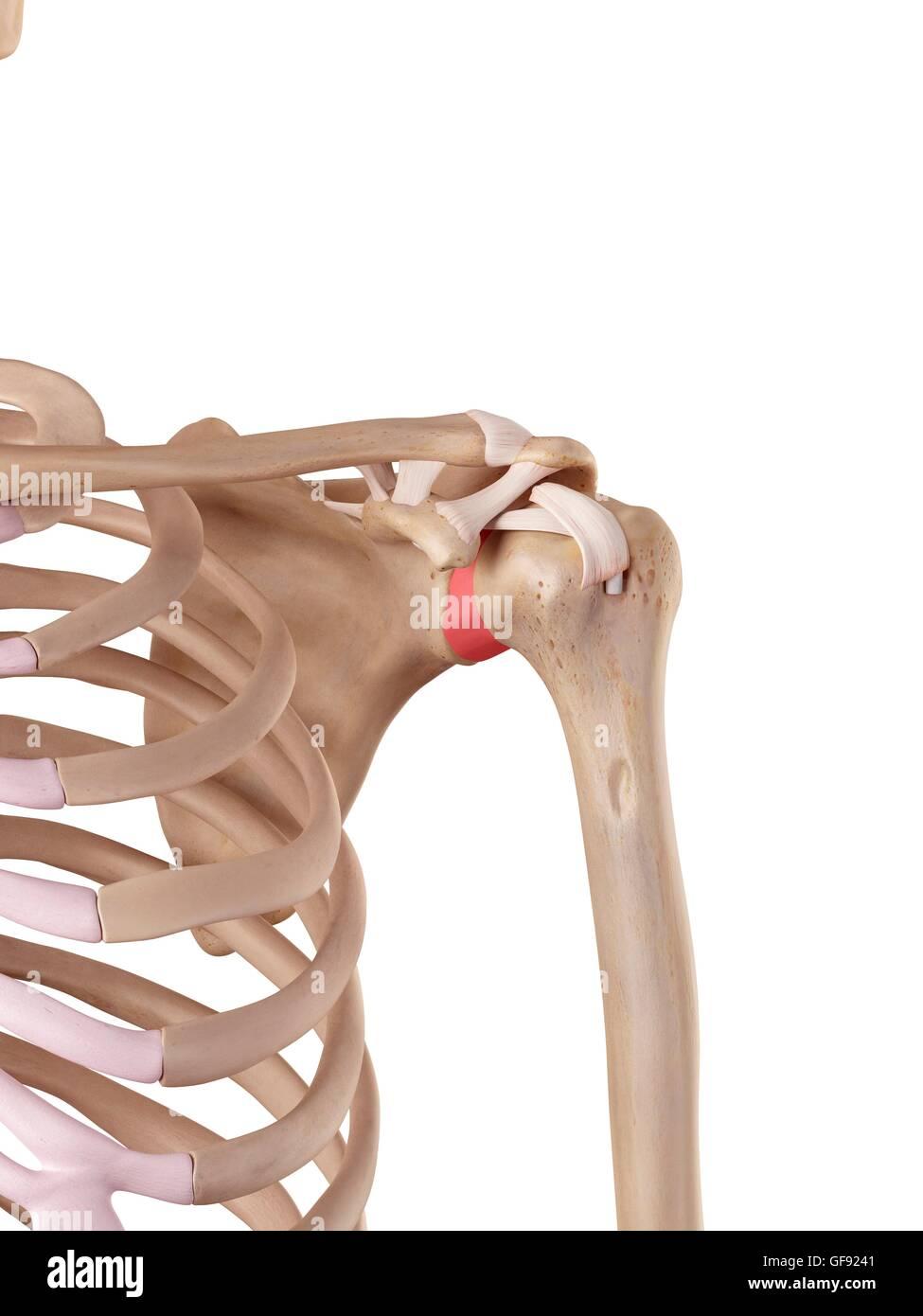Human Shoulder Ligaments Illustration Stock Photos & Human Shoulder ...