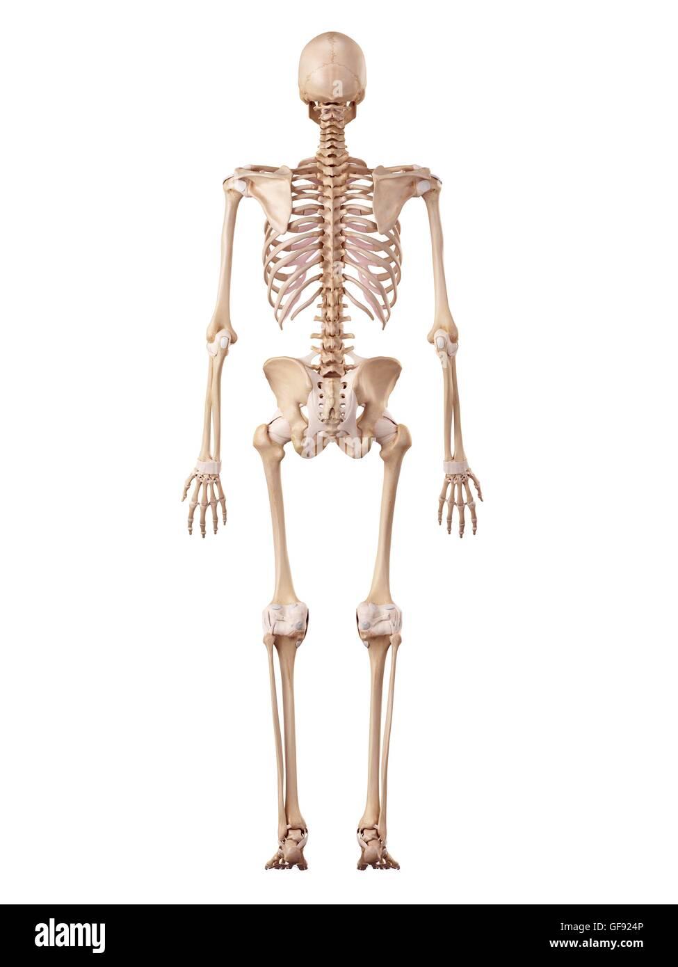 Human skeletal system, illustration Stock Photo: 112681318 - Alamy