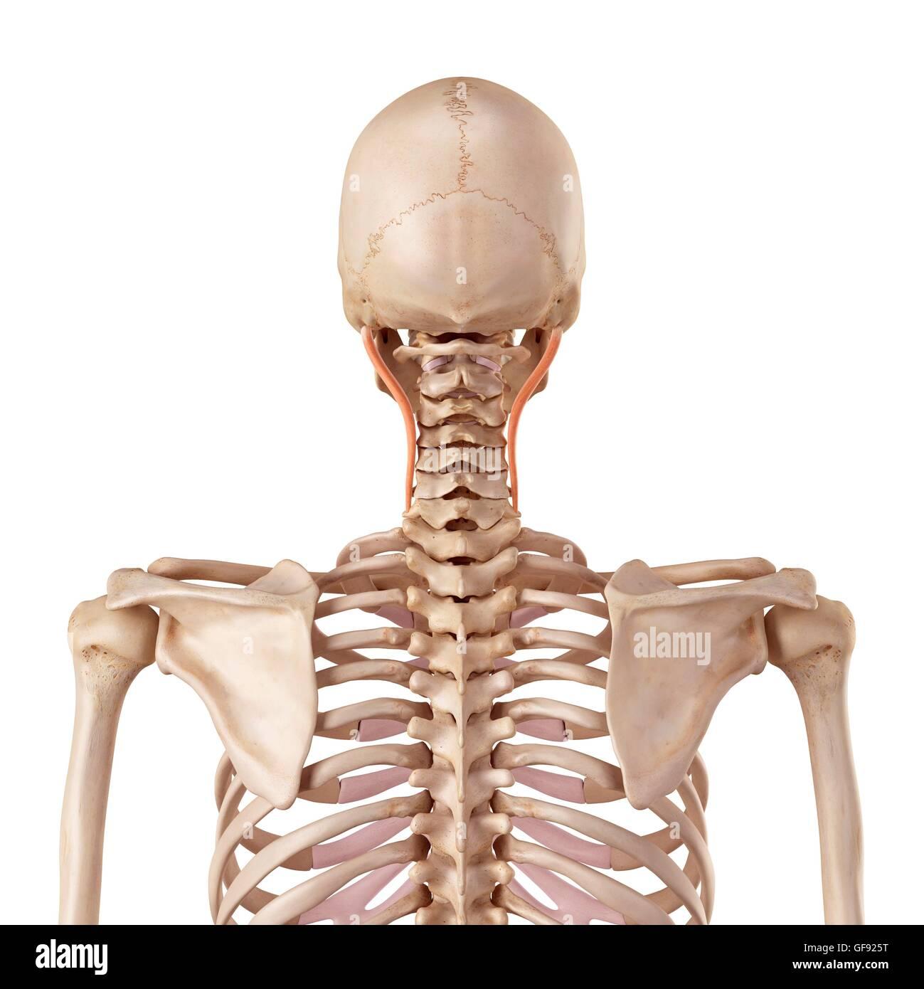 Atemberaubend Oberflächenanatomie Thorax Fotos - Anatomie Ideen ...