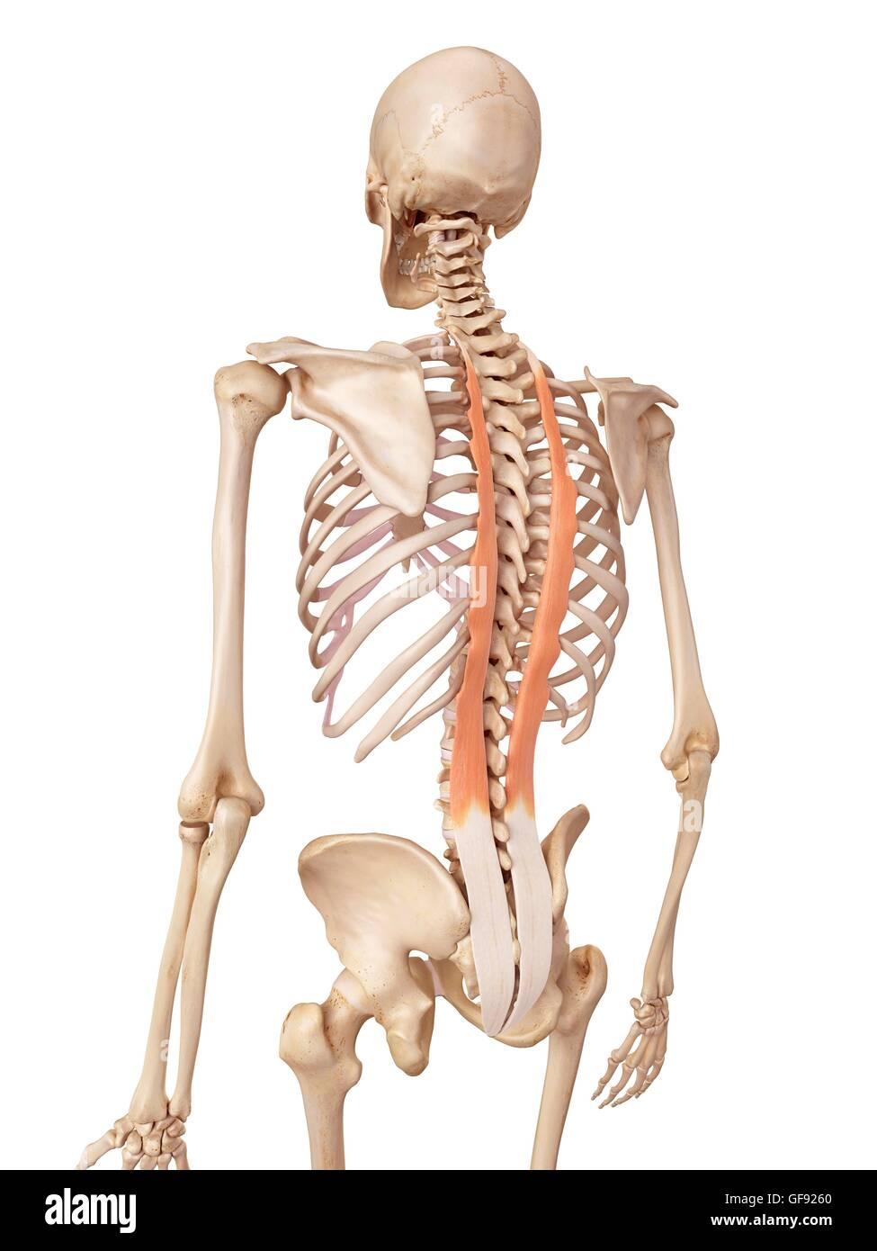 Human Back Muscles Illustration Stock Photo 112681352 Alamy