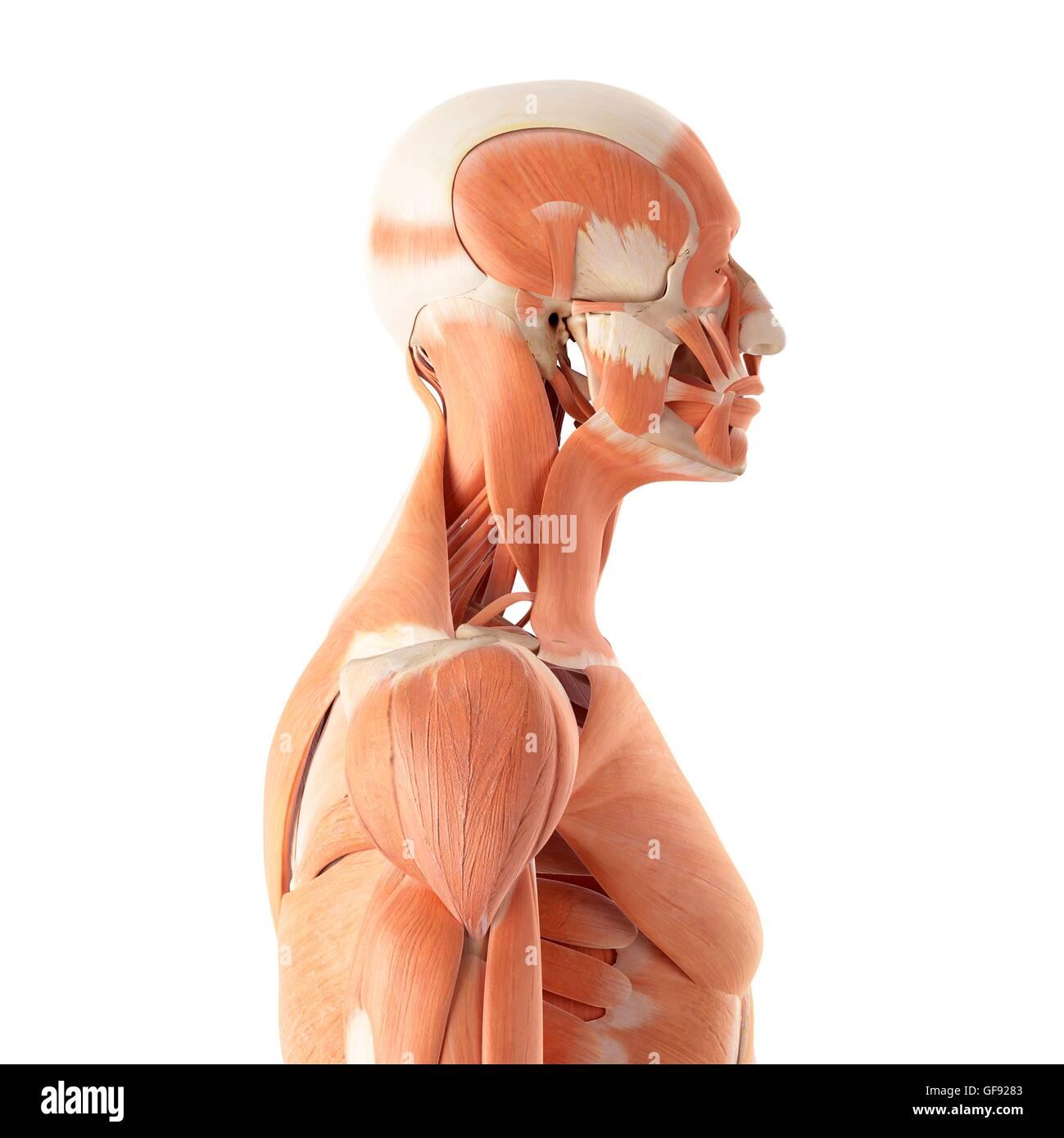 Human muscular system, illustration. - Stock Image