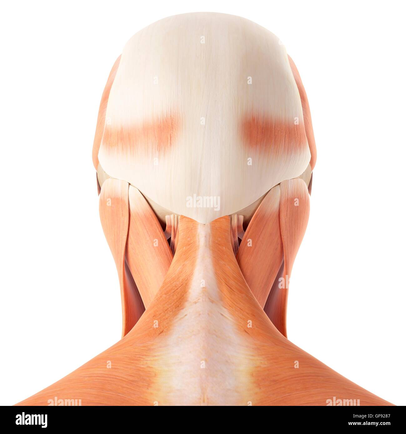 Human Head And Neck Muscles Illustration Stock Photo 112681415 Alamy
