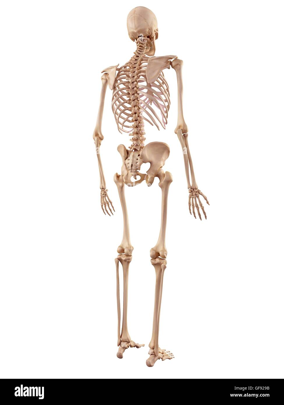 Human Skeletal System Stock Photos Human Skeletal System Stock