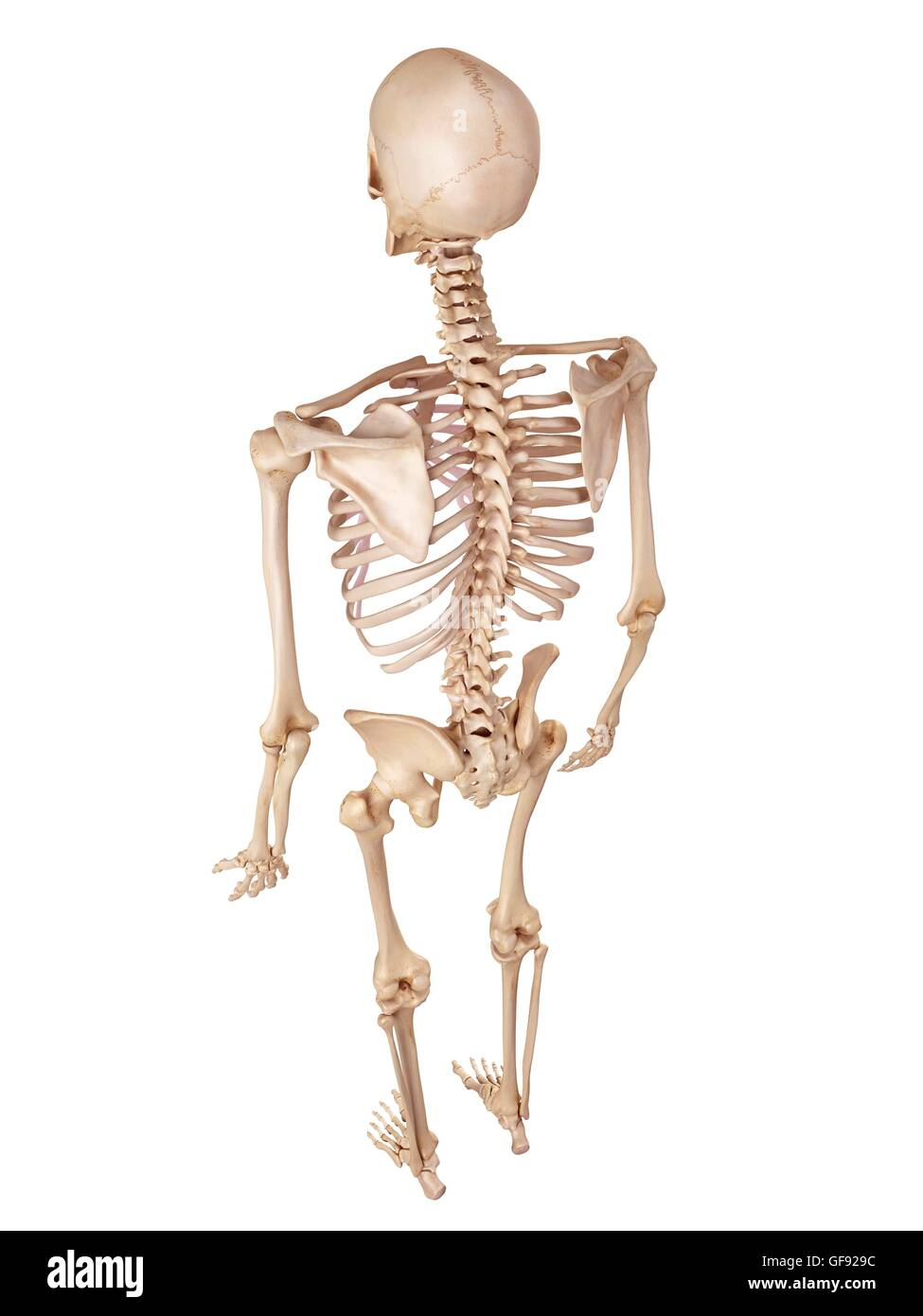 Human Skeletal System Illustration Stock Photo 112681448 Alamy