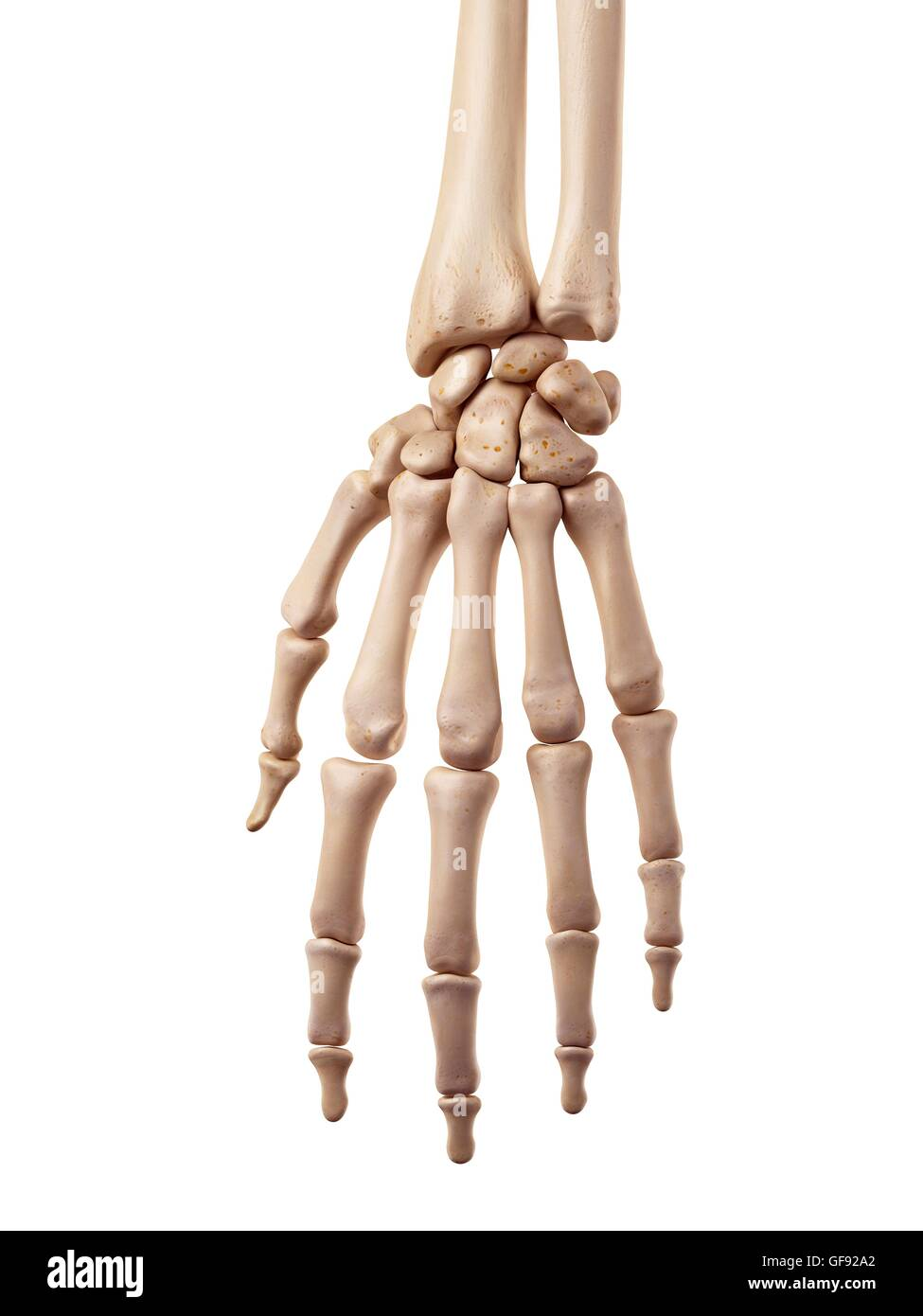 Human hand bones, illustration Stock Photo: 112681466 - Alamy