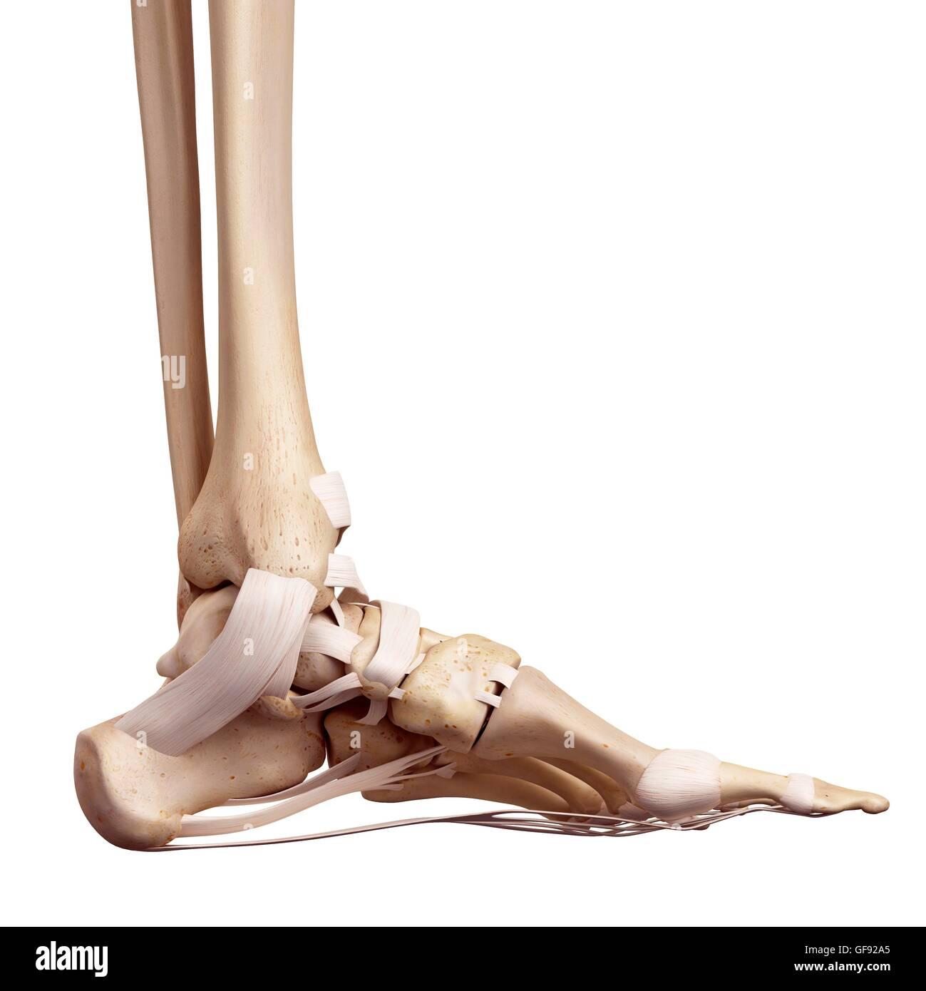 Human Foot Ligaments Illustration Stock Photo 112681469 Alamy