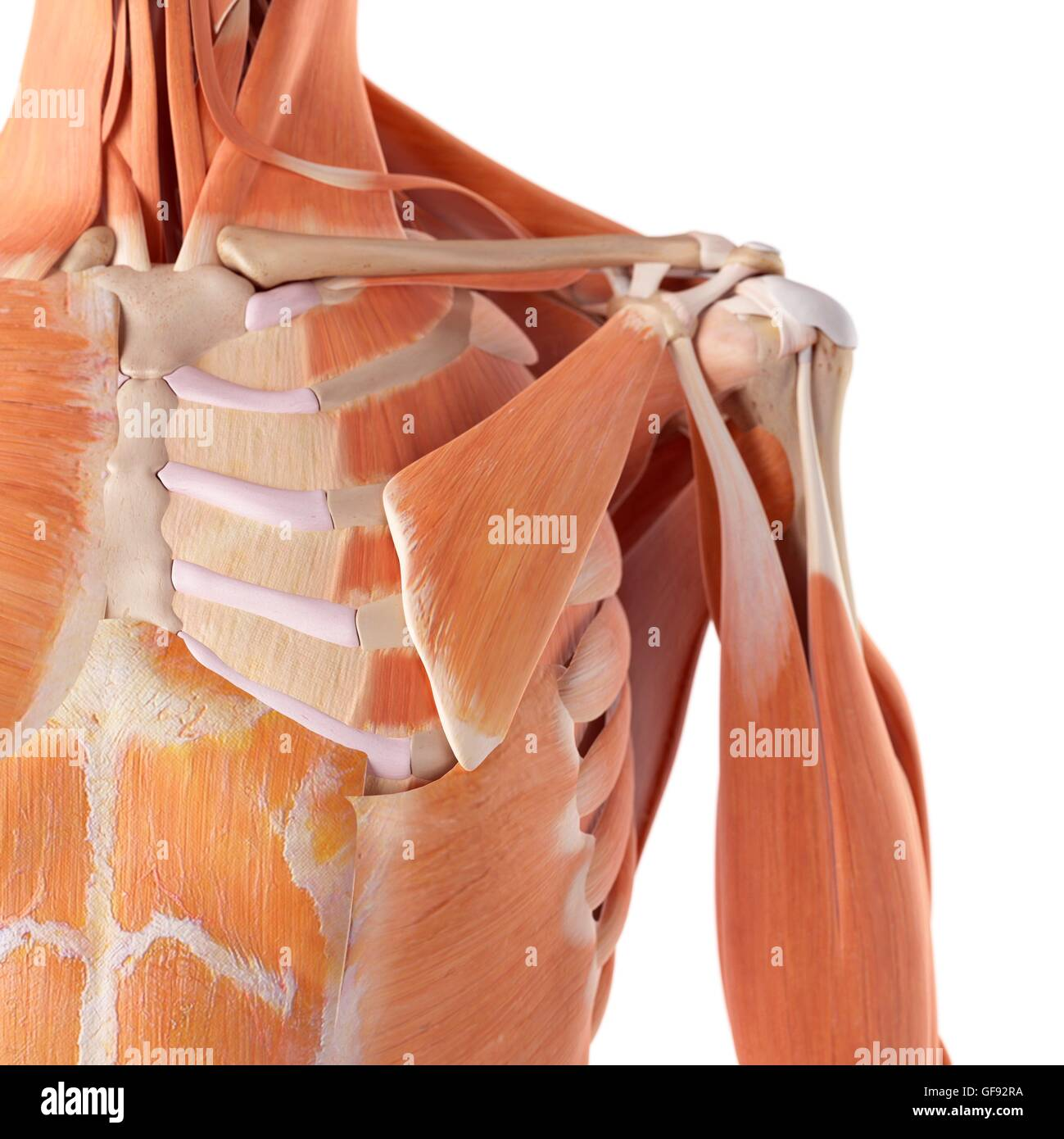 Human Chest Muscles Stock Photos Human Chest Muscles Stock Images