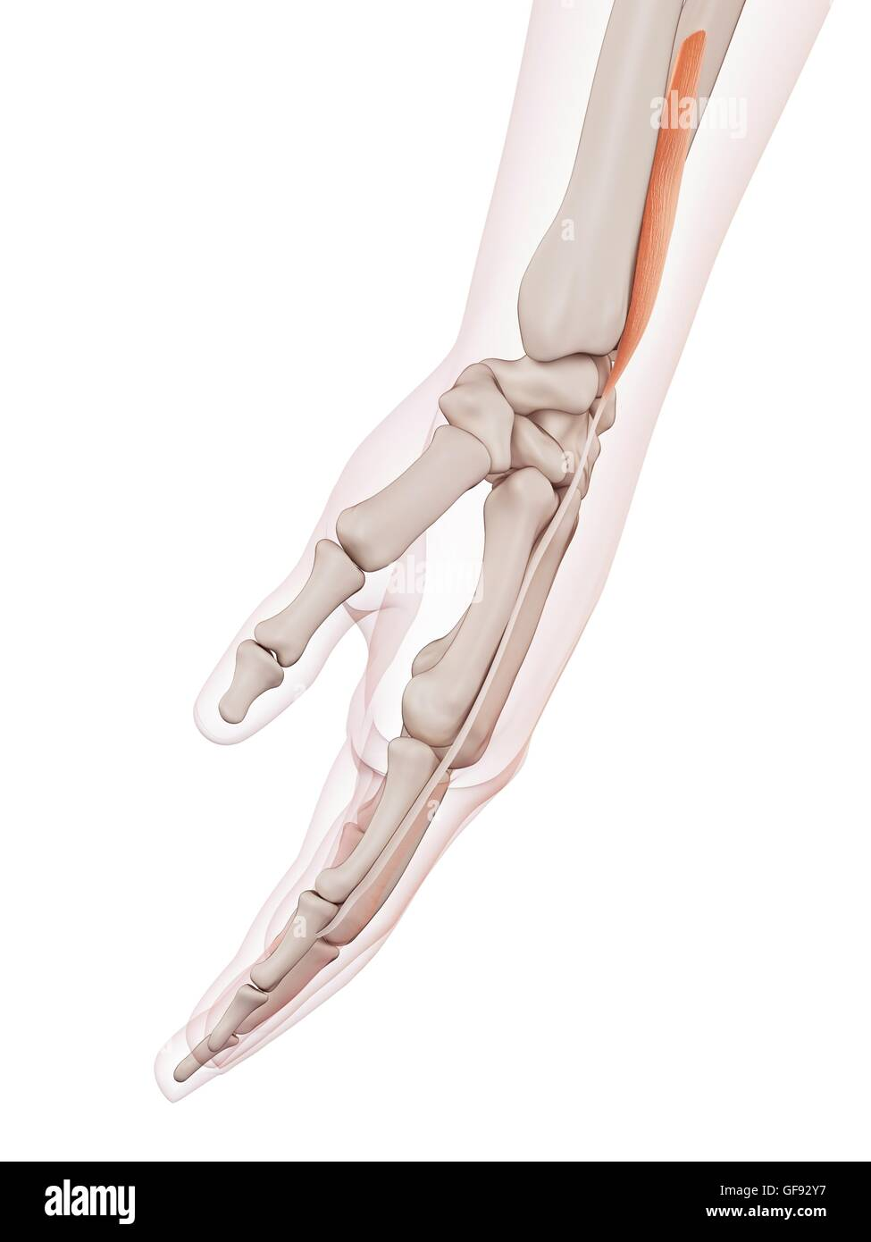 Human Wrist Muscles Illustration Stock Photos Human Wrist Muscles