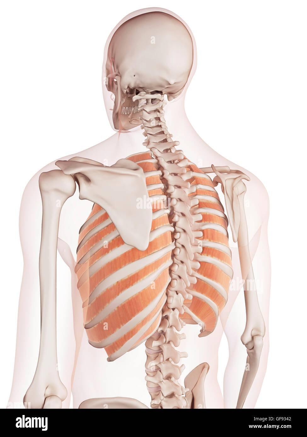 Human Chest Muscles Illustration Stock Photo 112682082 Alamy