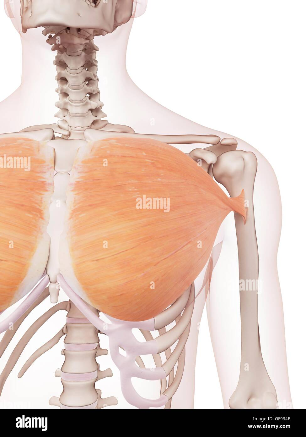 Human Chest Muscles Illustration Stock Photo 112682094 Alamy
