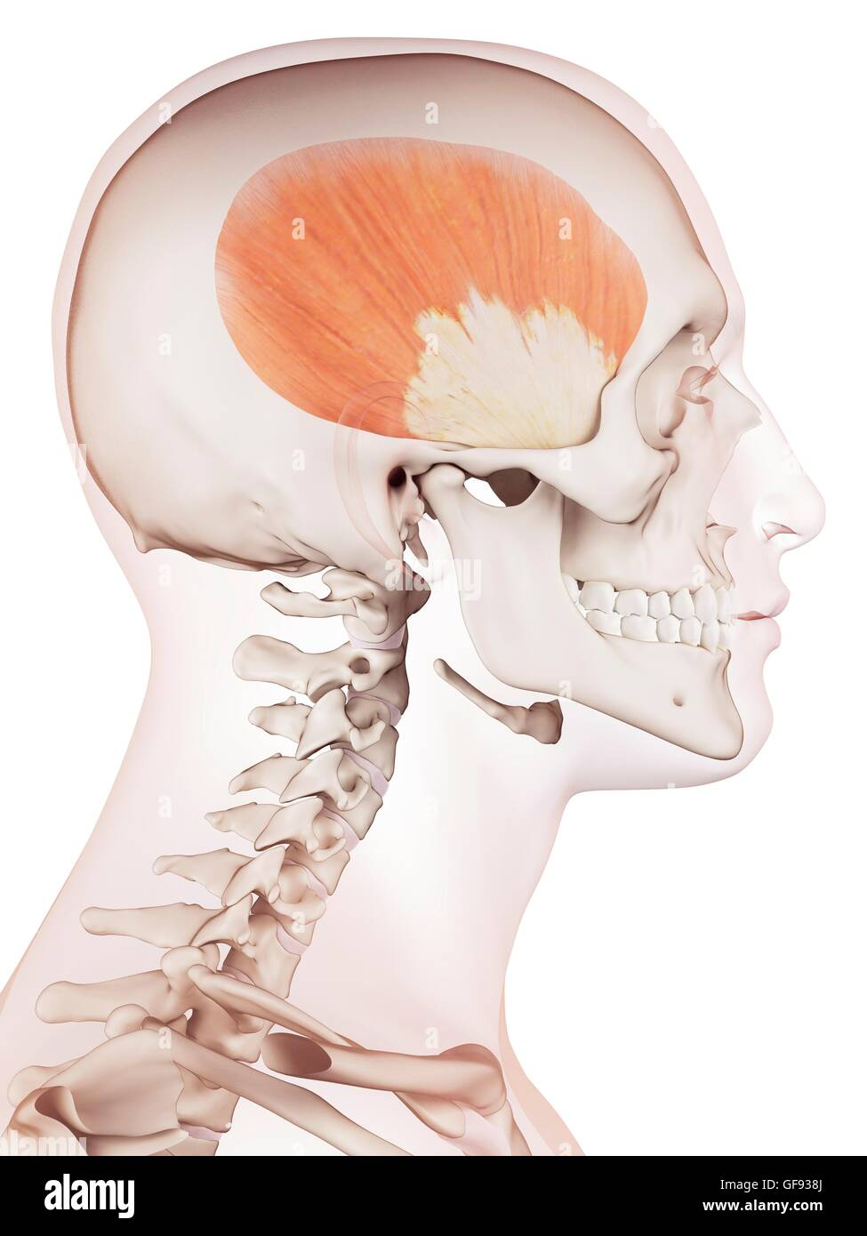 Head Muscles Side Stock Photos Head Muscles Side Stock Images Alamy