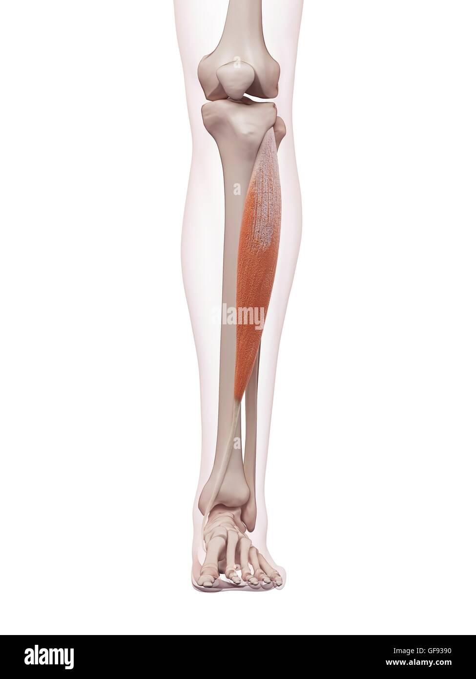 Niedlich Shin Muskelanatomie Bilder - Anatomie Ideen - finotti.info