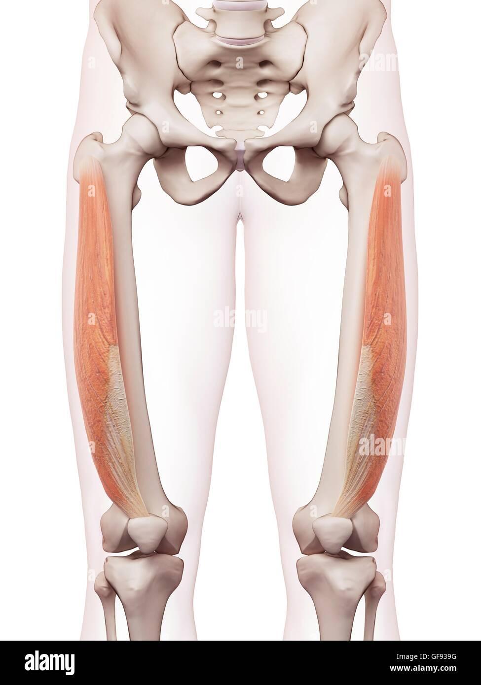 Human leg muscles, illustration Stock Photo: 112682236 - Alamy