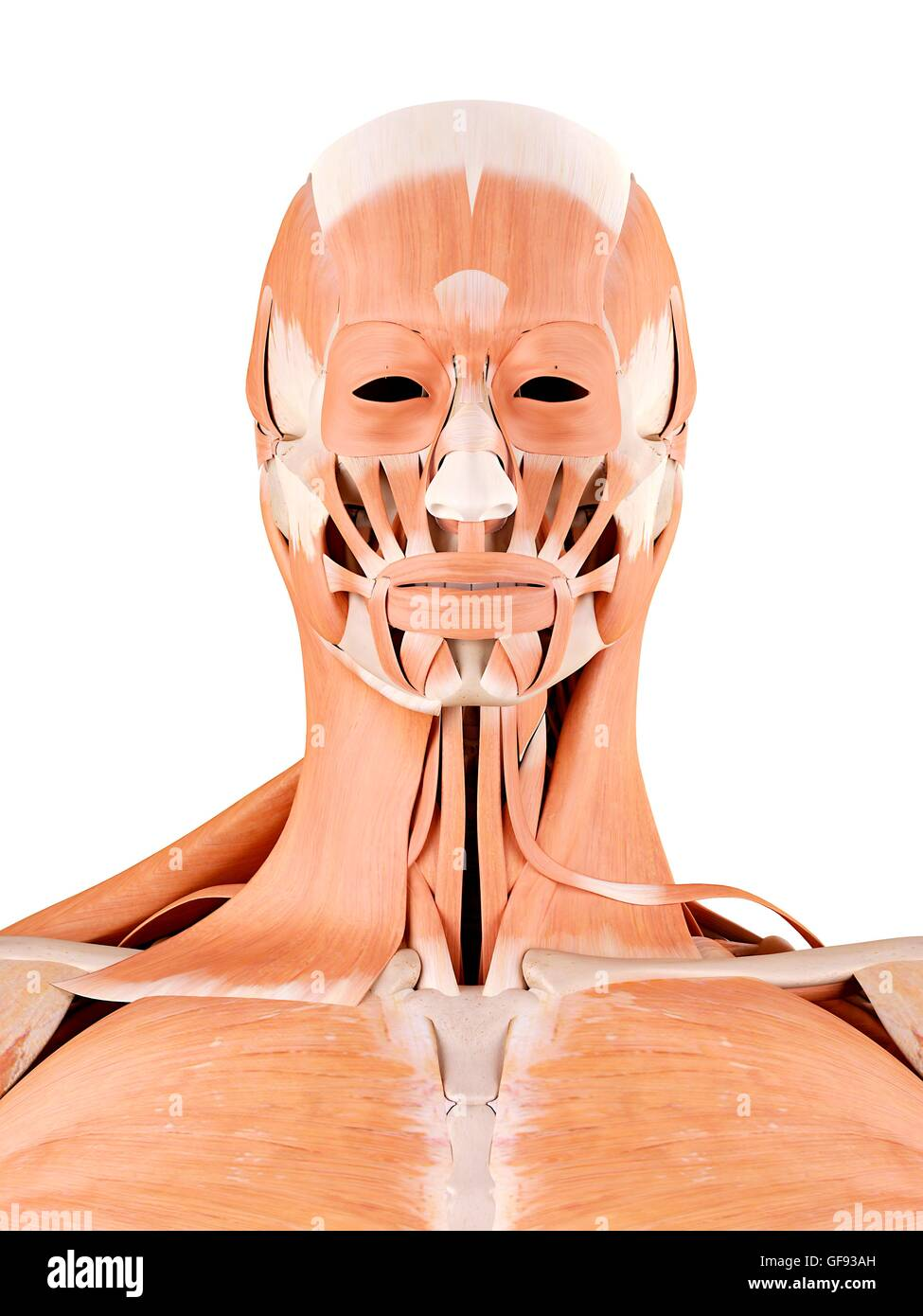 Human Face And Neck Muscles Illustration Stock Photo 112682265 Alamy