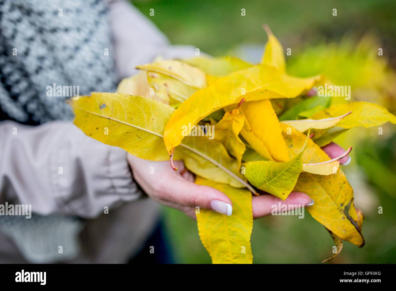 MODEL RELEASED. Hand holding autumn leaves, close-up. - Stock Image