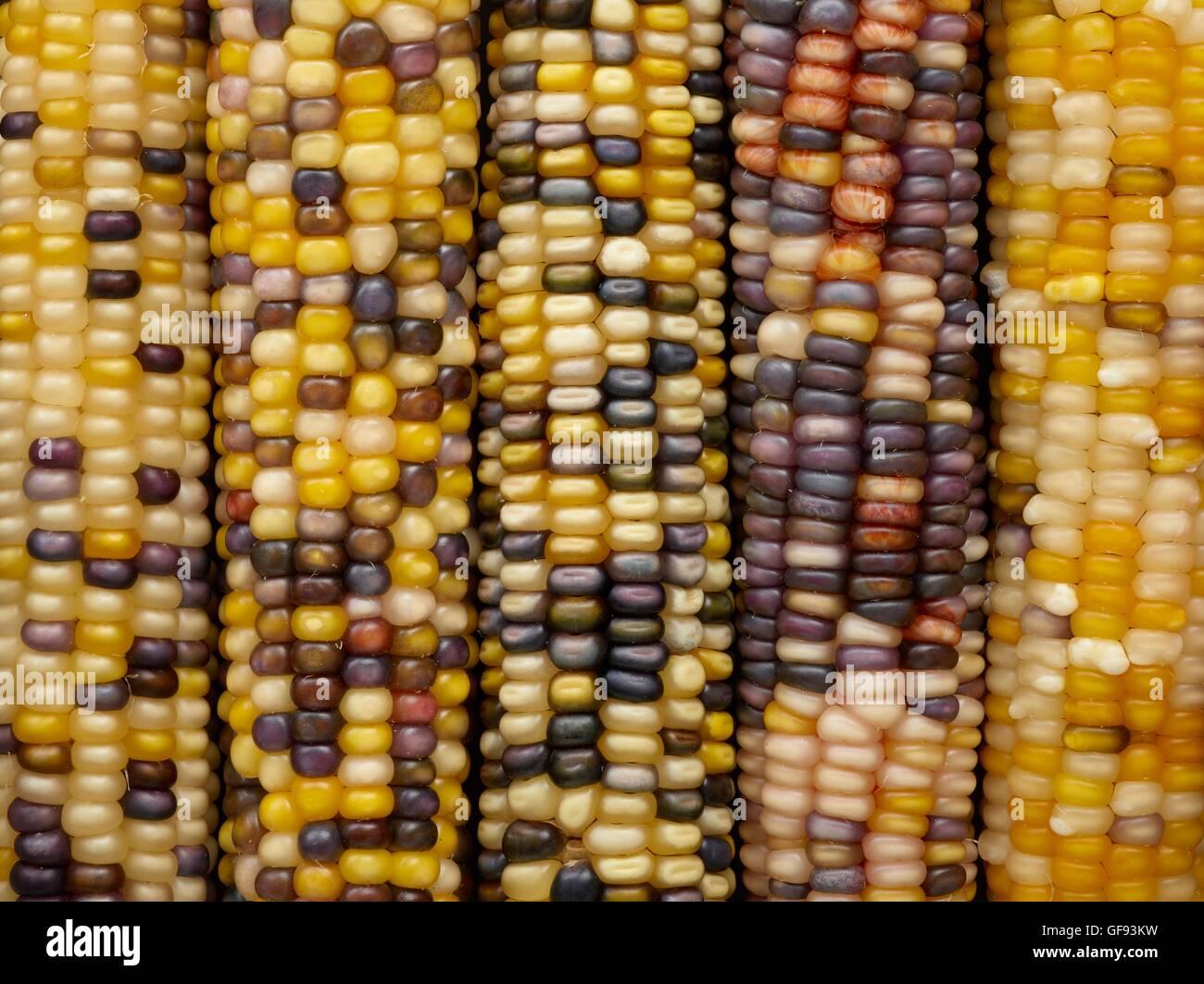 Flint corn, (Zea mays indurata), full frame. - Stock Image