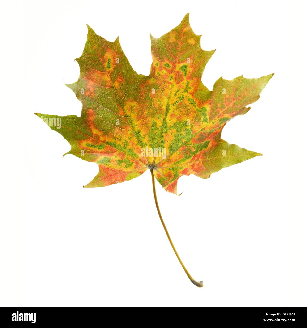 Maple (Acer) leaf, studio shot. - Stock Image