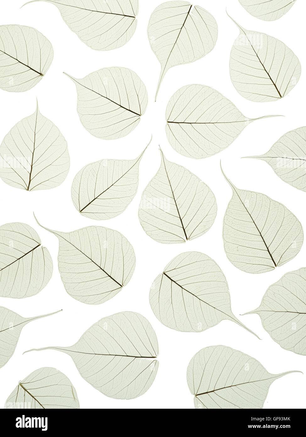 Leaf skeletons of bodhi tree (Ficus religiosa) leaves, studio shot. - Stock Image