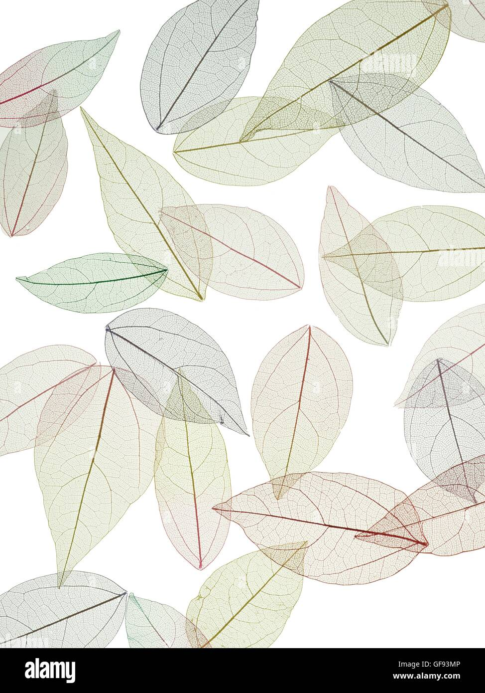 Leaf skeletons of rubber tree (Hevea brasiliensis) leaves, studio shot. - Stock Image
