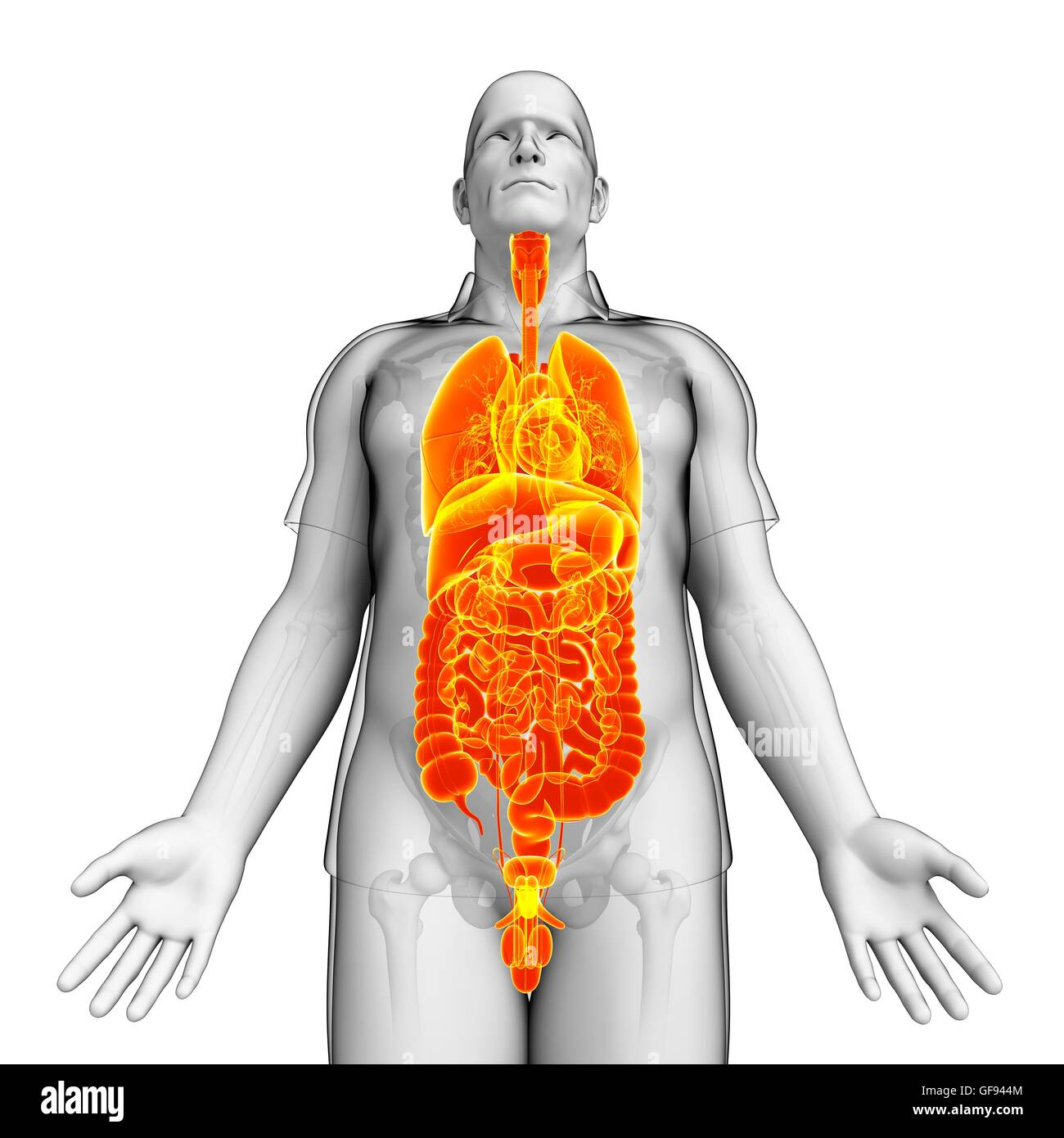 Internal Organs Torso Stock Photos & Internal Organs Torso Stock ...
