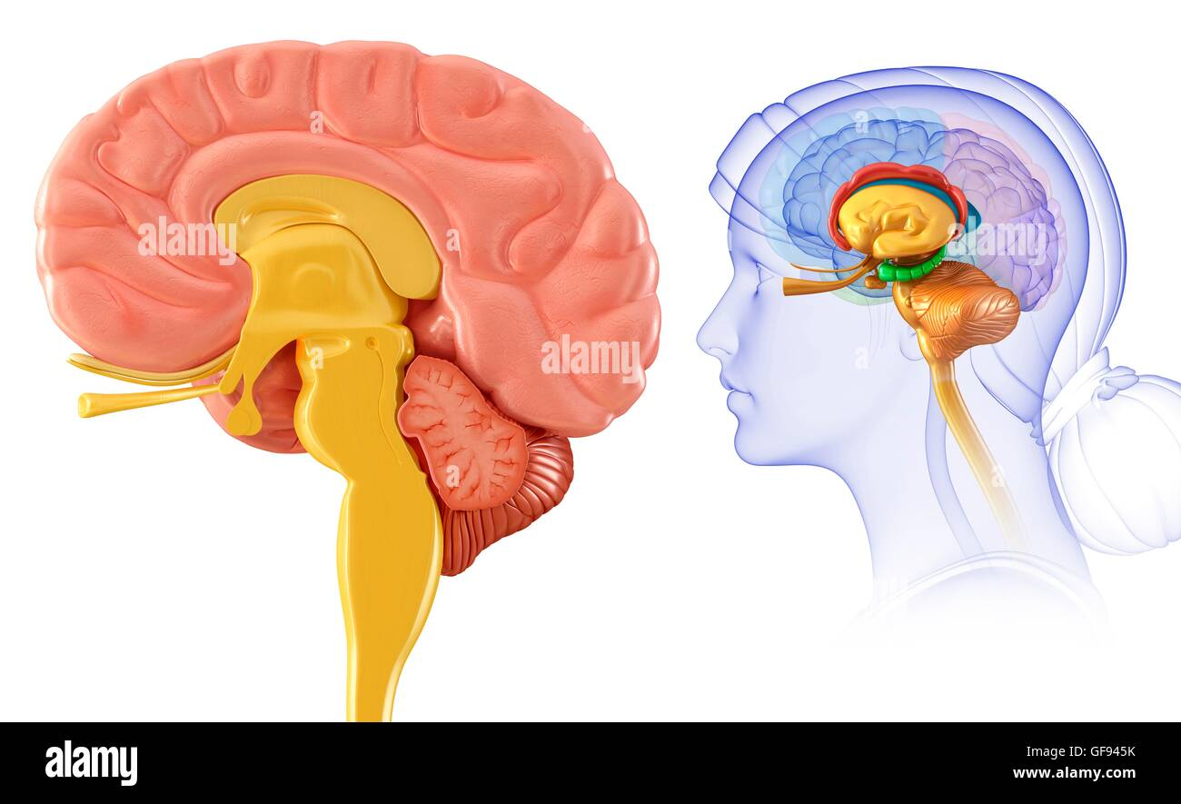 Illustration of human brain cross section stock photo 112682911 alamy illustration of human brain cross section ccuart Images