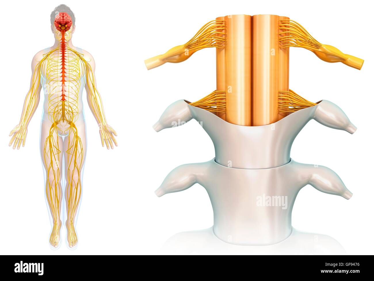 Healthy Spinal Cord Cut Out Stock Images Pictures Alamy