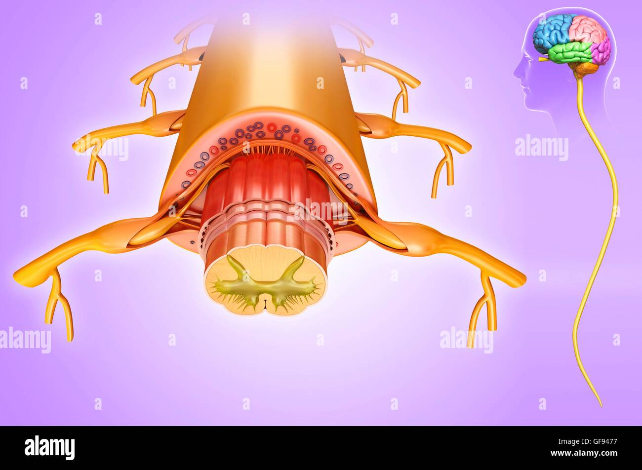 Illustration of spinal cord anatomy cross-section Stock Photo ...