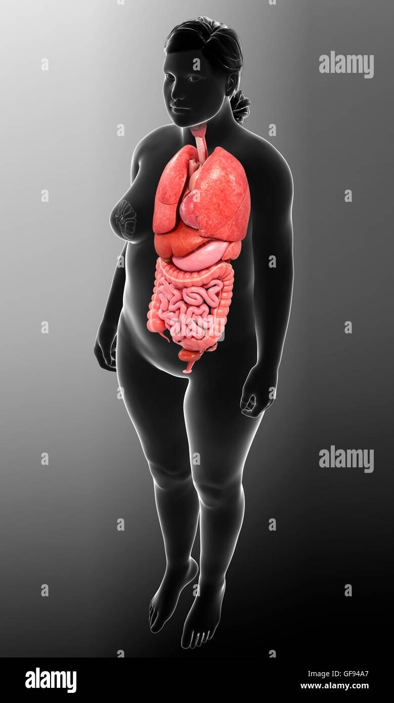 Illustration Of Female Internal Anatomy Stock Photo 112683039 Alamy