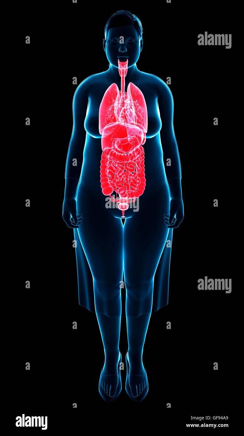 Illustration Of Female Internal Anatomy Stock Photo 112683041 Alamy
