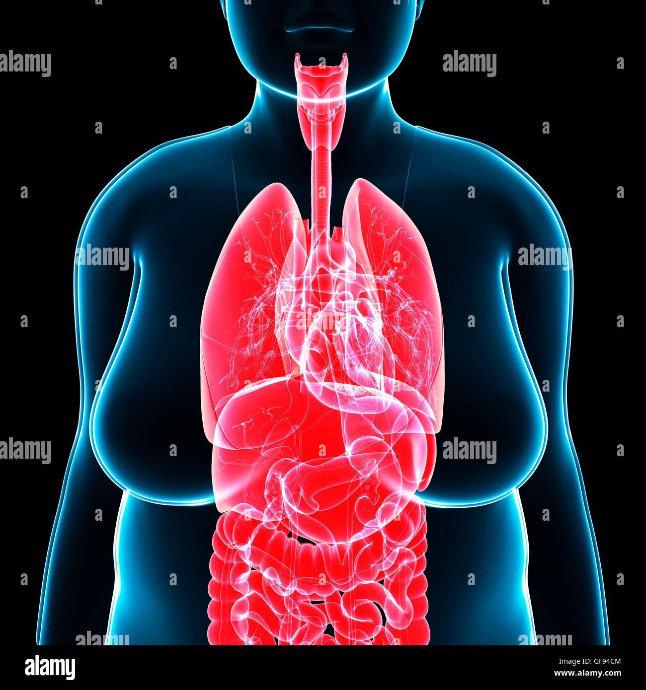 Illustration Of Female Internal Anatomy Stock Photo 112683108 Alamy
