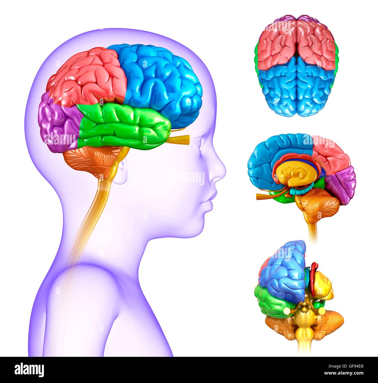 Childs Brain Anatomy Cut Out Stock Images & Pictures - Alamy