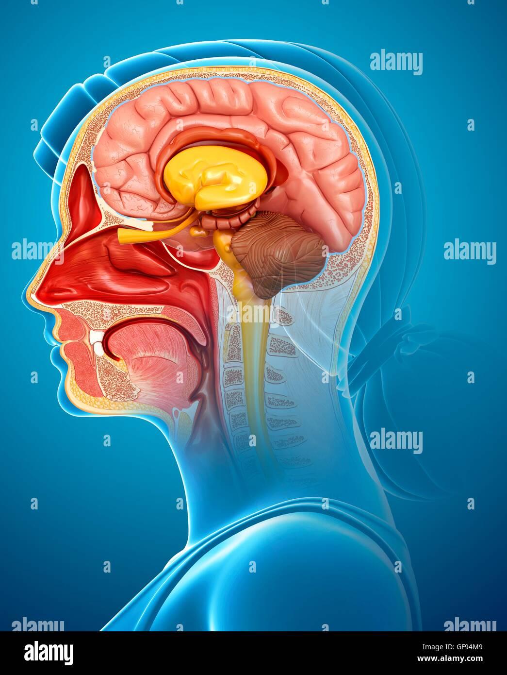 Illustration of brain anatomy with nasal cavity Stock Photo ...