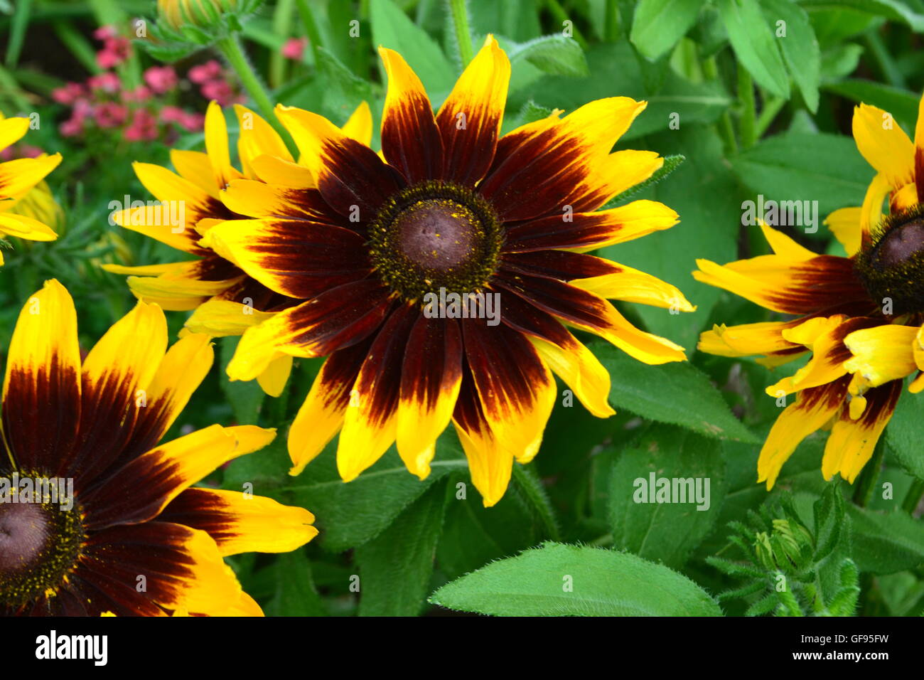 Yellow flower with brown center stock photos yellow flower with close up of brown flower with brown center and yellow tips stock image mightylinksfo