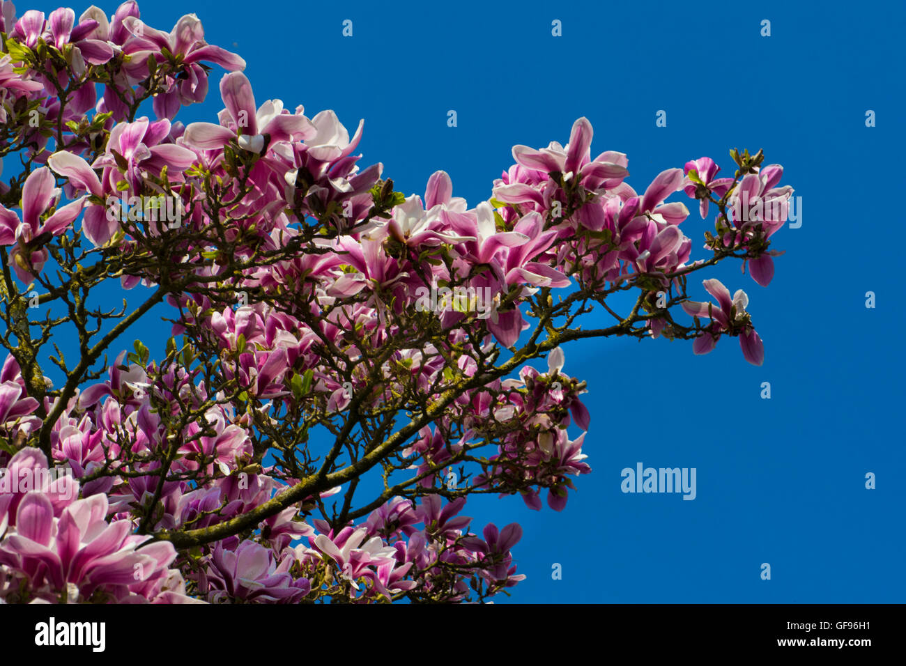 Branch of Pink Magnolia tree in blossom - Stock Image