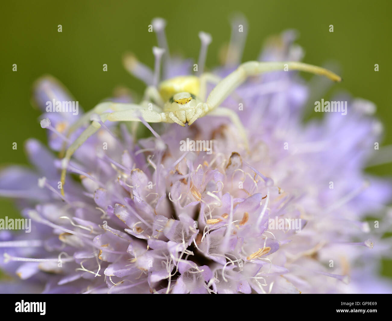 Macro of crab spider (Misumena vatia) on knautia flower seen from front - Stock Image