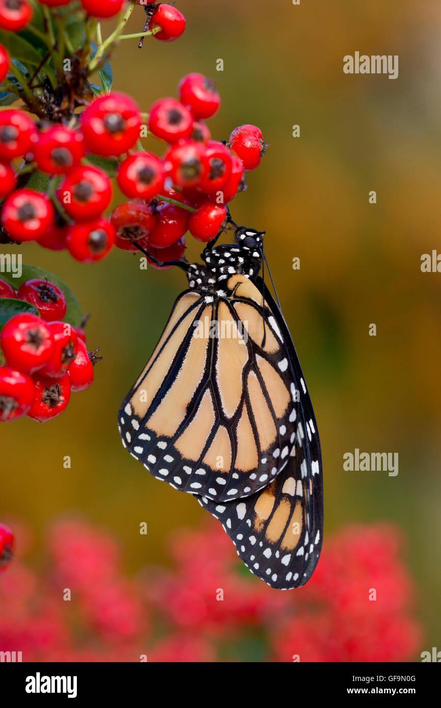 Monarch Butterfly ; Danaus plexippus Single on Berries UK - Stock Image