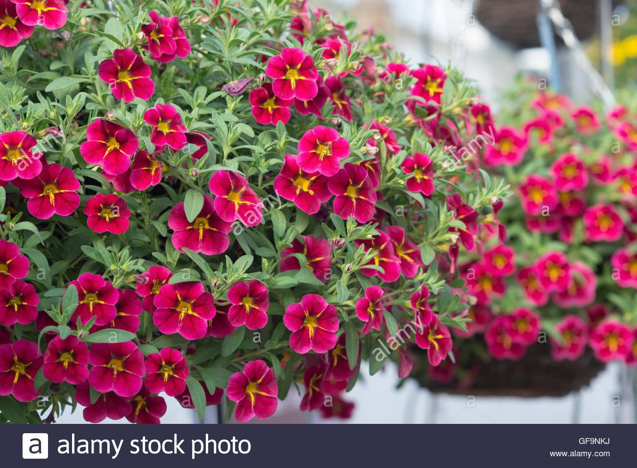 Calibrachoa 'Starlight cherry'. Mini Petunia flowers in hanging baskets. UK - Stock Image