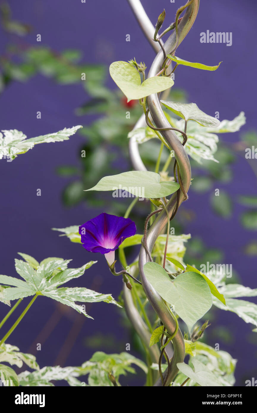 Ipomoea nil 'Grandpa Ott'. Morning glory growing on a metal frame against purple background - Stock Image