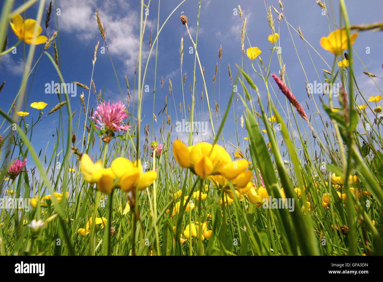 Wild flower rich, undisturbed hay meadows in the Wye Valley, Monmouthshire on a warm summer day - June, 2016 - Stock Image