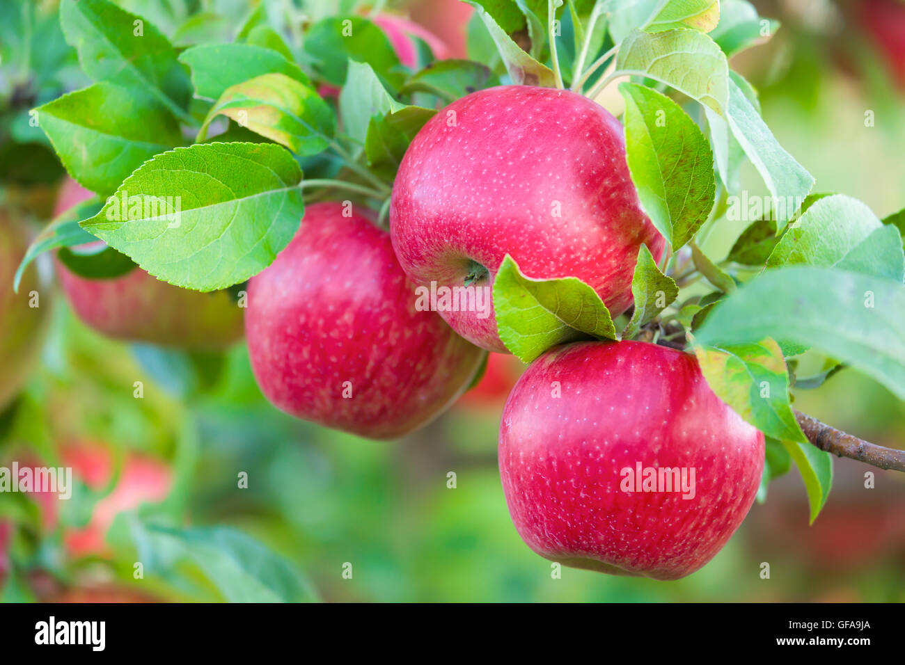 Honey crisp apples in the orchard. - Stock Image