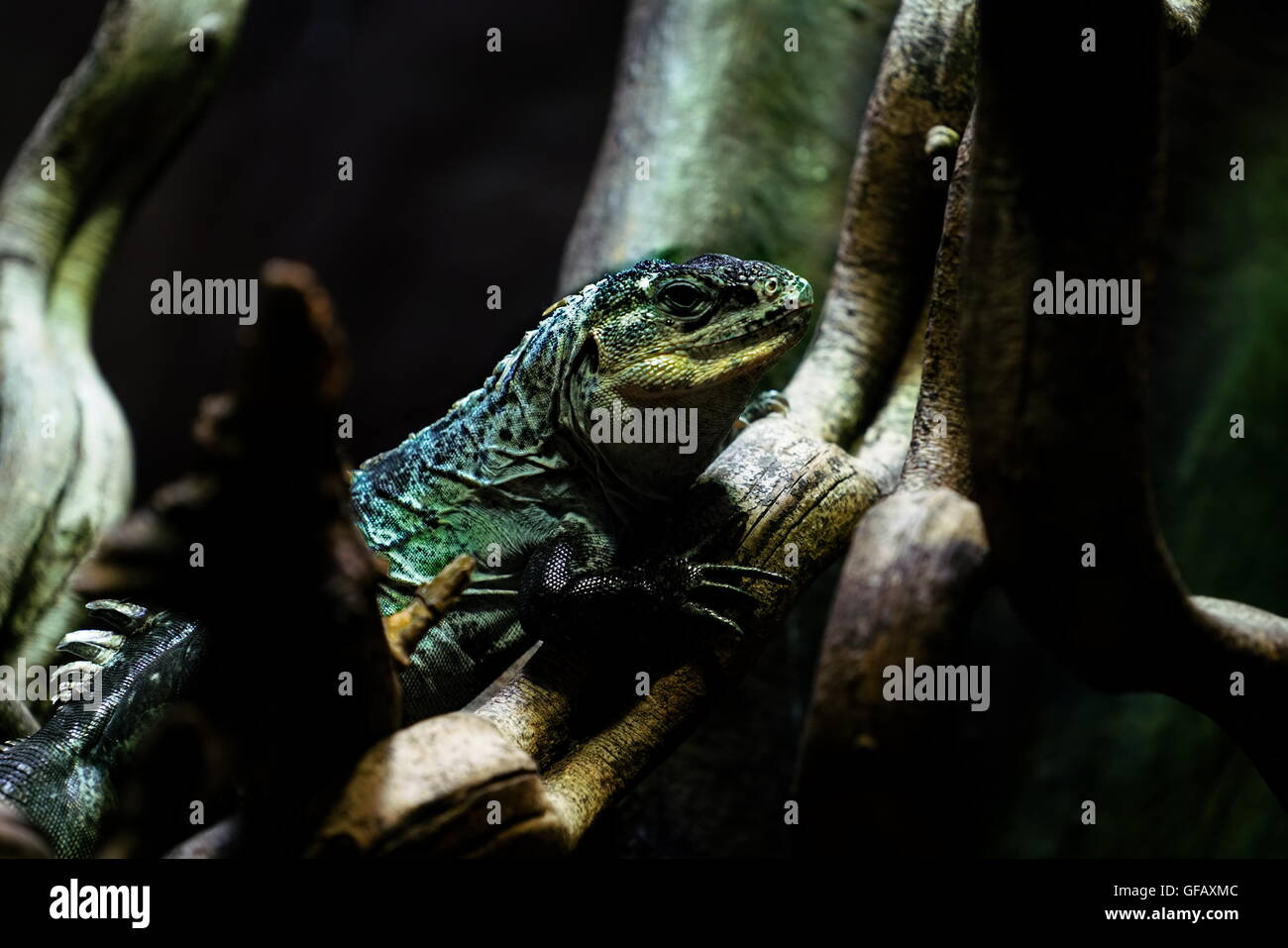 London, UK. 30th July, 2016. A Iguana at ZLS London Zoo an opening day for Little Creatures Family Festival ,England, - Stock Image