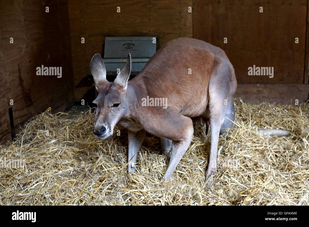London, UK. 30th July, 2016. A Kangaroo at ZLS London Zoo an opening day for Little Creatures Family Festival ,England, - Stock Image